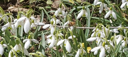 Snowbell flowers and bee