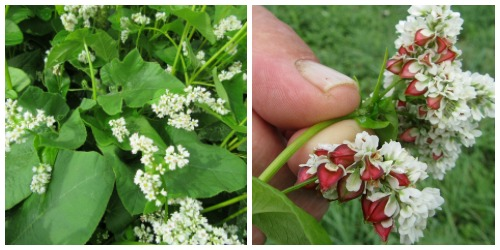 Buckwheat in flower and seed