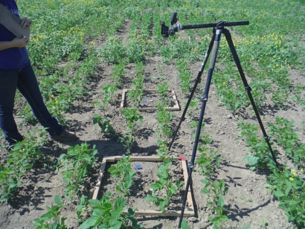 Taking crop canopy development photographs.