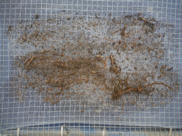 Washed root samples.
