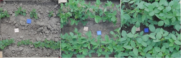 Soybean canopy development in three stages.