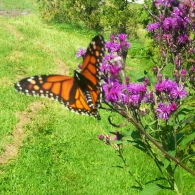 Monarch butterfly at Mapleton's June 2017