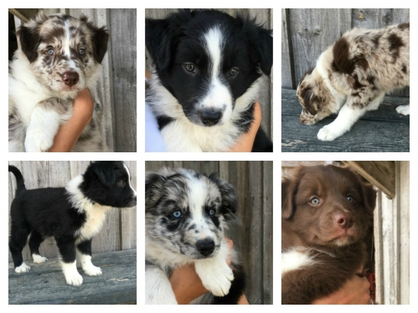 Collage of puppies late July