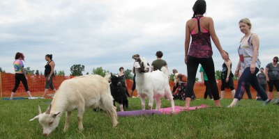 Goat Yoga session at Mapleton's