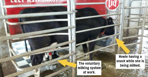 Howie being milked by the voluntary milking system