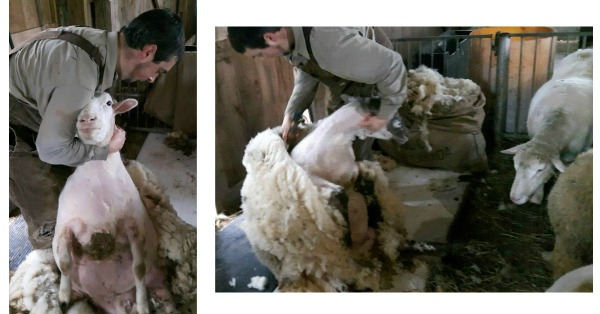 Two photos of sheep being sheared.