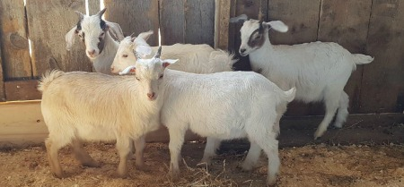 Miniature goats at Mapleton's Organic May 2018